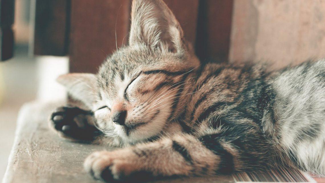 Waarom elke alleenstaande man een kat als huisdier moet nemen