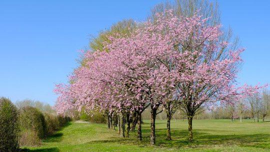Bloeiende bomen voor in de tuin